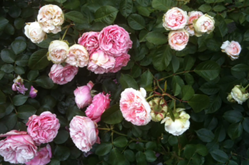 Juin_rose_2013
